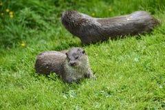 Otter auf Riverbank im üppigen grünen Gras des Sommers im Sonnenlicht Lizenzfreie Stockfotografie