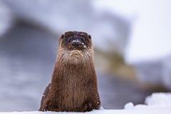 Otter auf Schnee Stockfotos