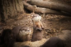 Otter baby with family. royalty free stock images