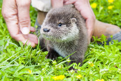 Otter baby Stock Photos