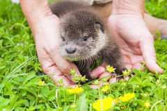 Otter baby Royalty Free Stock Photography