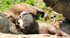 An Otter Bask In The Afternoon Sun. Otter is a common name for a carnivorous mammal in subfamily Lutrinae. The 13 extant otter species are all semiaquatic or Stock Photos