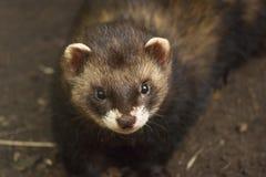Otter bij de dierentuin Royalty-vrije Stock Afbeeldingen