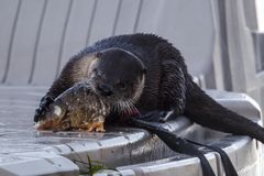 Otter busy eating fish. A cute otter on a dock is busy eating an old fish at Hauser Lake, Idaho Stock Images