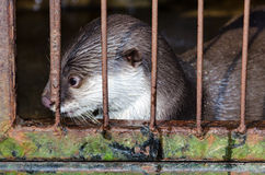 Otter in a cage Royalty Free Stock Photo