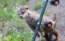 Otter in captivity is looking through the fence of it's cage royalty free stock image