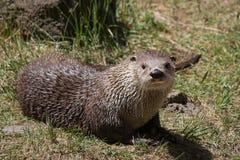 Otter. Carnivorous mammal otter in wildlife stock images