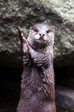 Otter clapping hands Stock Photos