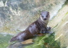 Otter climbs out of the water royalty free stock image