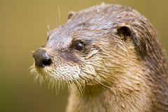 Otter close-up Stock Images