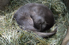 Otter Stock Images