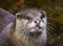 Otter. Close-up of oriental small-clawed otter Stock Photography