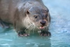 Otter portrait outdoor Royalty Free Stock Photo