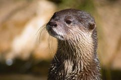 Otter Closeup. A closeup shot of an Otter royalty free stock image