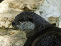 Otter / Loutre Stock Photo