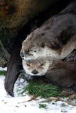 Otter couple Stock Photography