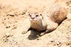 The otter Stock Photography
