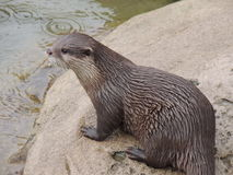 Otter in de regen royalty-vrije stock afbeeldingen