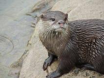 Otter in de regen stock afbeeldingen