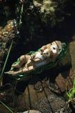 Otter& decorativo x27; famiglia di s su uno stagno Immagini Stock Libere da Diritti