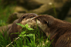 Otter delight Stock Image