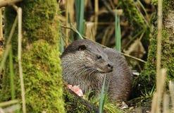 Otter, der ablehnt zu teilen Stockbilder