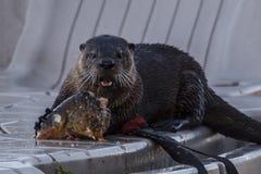 Otter, der auf einem Stück Fischen kaut Lizenzfreies Stockbild