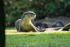 Otter, der in der Sonne liegt stockbild