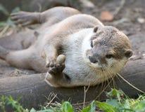 Otter, der einen Stein jongliert Lizenzfreie Stockfotografie