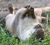 Otter, der einen Stein jongliert Lizenzfreies Stockfoto