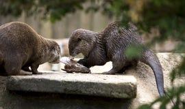 Otter, der Fische isst Stockfoto