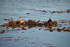 Otter, der im Wasser schläft Stockfotografie