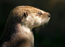 Otter, der irgendeine Sonne nimmt Stockfoto