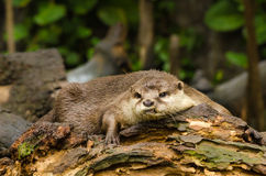 Otter in der Natur Lizenzfreies Stockbild