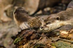 Otter in der Natur Lizenzfreie Stockbilder