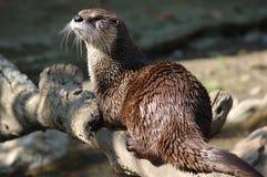 Otter des kanadischen Flusses (Lutra canadensis) Stockfotos