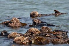 Otter die anderen verbonden om een vlot te maken bekijken Stock Foto