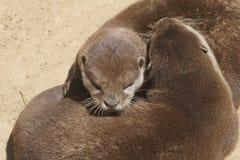 Otter, die in der Sonne schlafen lizenzfreie stockbilder