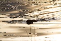 Otter die op Kalm Meer bij Zonsondergang zwemmen Royalty-vrije Stock Afbeelding