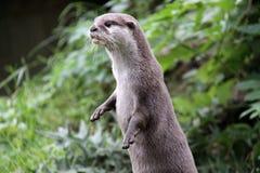 Otter die opstaat kijkend vanaf camera stock fotografie