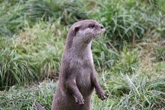 Otter die opstaat kijkend vanaf camera stock afbeelding