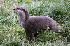 Otter die opstaat kijkend vanaf camera royalty-vrije stock afbeelding