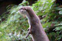 Otter die opstaat weg kijkend royalty-vrije stock foto's