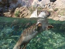 Otter die uit water komen royalty-vrije stock fotografie