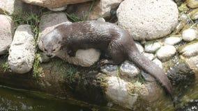Otter die voorbereidingen treffen te duiken stock foto