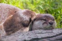 Otter, die zusammen auf einen Klotz streicheln lizenzfreies stockfoto