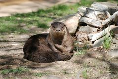 Otter in the dirt. A river otter has just rolled in the dirt stock image