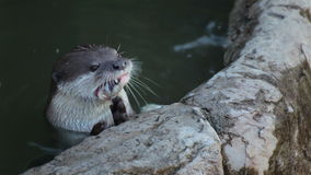 Otter eat small fish in pond stock video