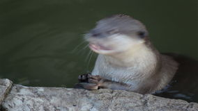 Otter eat small fish in pond stock video footage