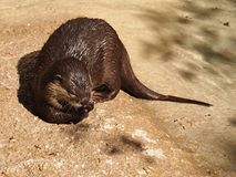 Otter eating Royalty Free Stock Photography